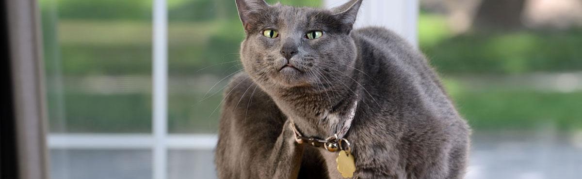 Prurito del gatto